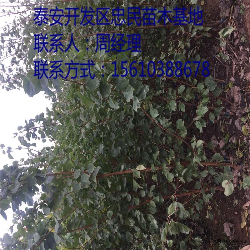 凯特杏树苗价格价格 苗木 苗木报价图片