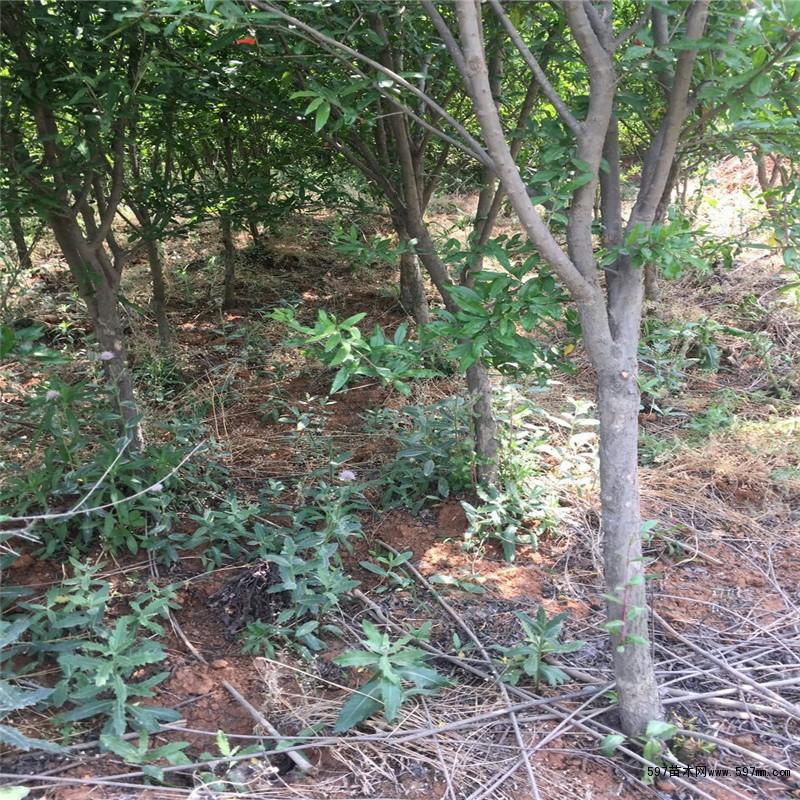 7公分石榴树苗 7公分石榴树