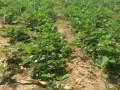 山东全明星草莓苗