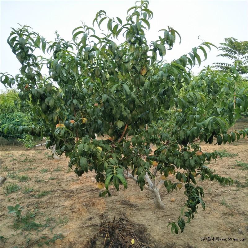 果树秋季稼接哪个月最好