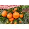 红美人柑橘苗价格 爱媛38号苗(红美人柑橘苗)多少钱一株