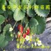 章姬草莓苗、山东章姬草莓苗、章姬草莓苗价格多少