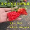哪里有賣草莓苗的 草莓苗批發價格是多少