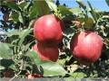 矮化寒富苹果树苗