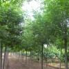 哪里有6公分白腊树,8公分白腊树多少钱一棵,哪里白腊树最好