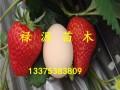 红颜草莓苗品种介绍