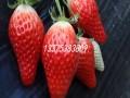 章姬草莓苗品种介绍