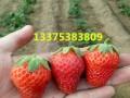 甜宝草莓苗品种介绍