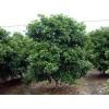 桂花树|桂花树价格