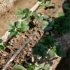 大棚草莓苗品种  春暖棚草莓苗品种  全明星草莓苗