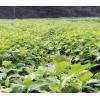 檫木小苗、一年生0.5粗度、高60公分檫木苗、1公分檫木