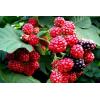 红树莓苗品种:美22号树莓苗、澳洲红树莓苗、早红树莓苗、