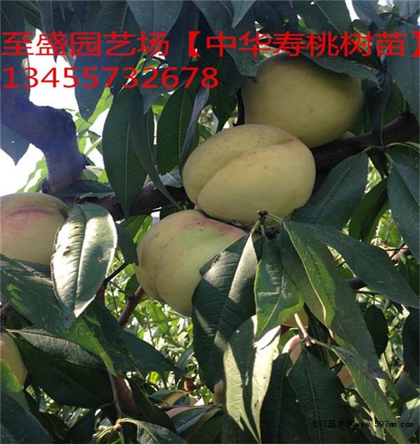 夏雪桃树苗价格6元 冠幅100公分胸径0.1公分高度80公分地径0.8公分