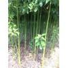供应香樟小苗,1公分香樟小苗价格,批发2公分香樟