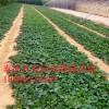 章姬草莓苗哪里便宜