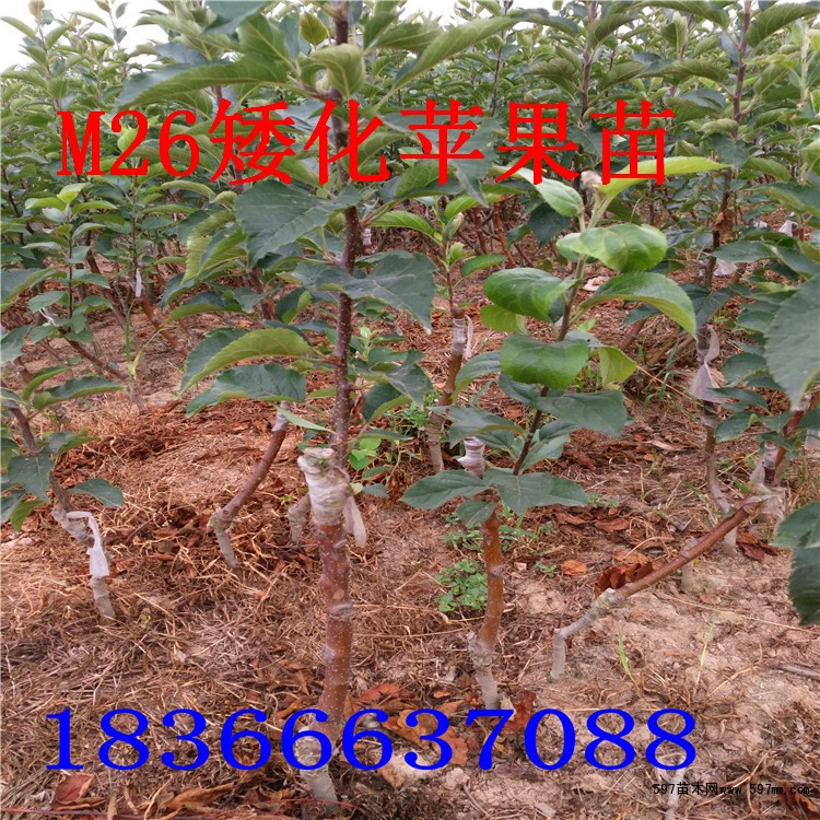 山东矮化苹果苗价格