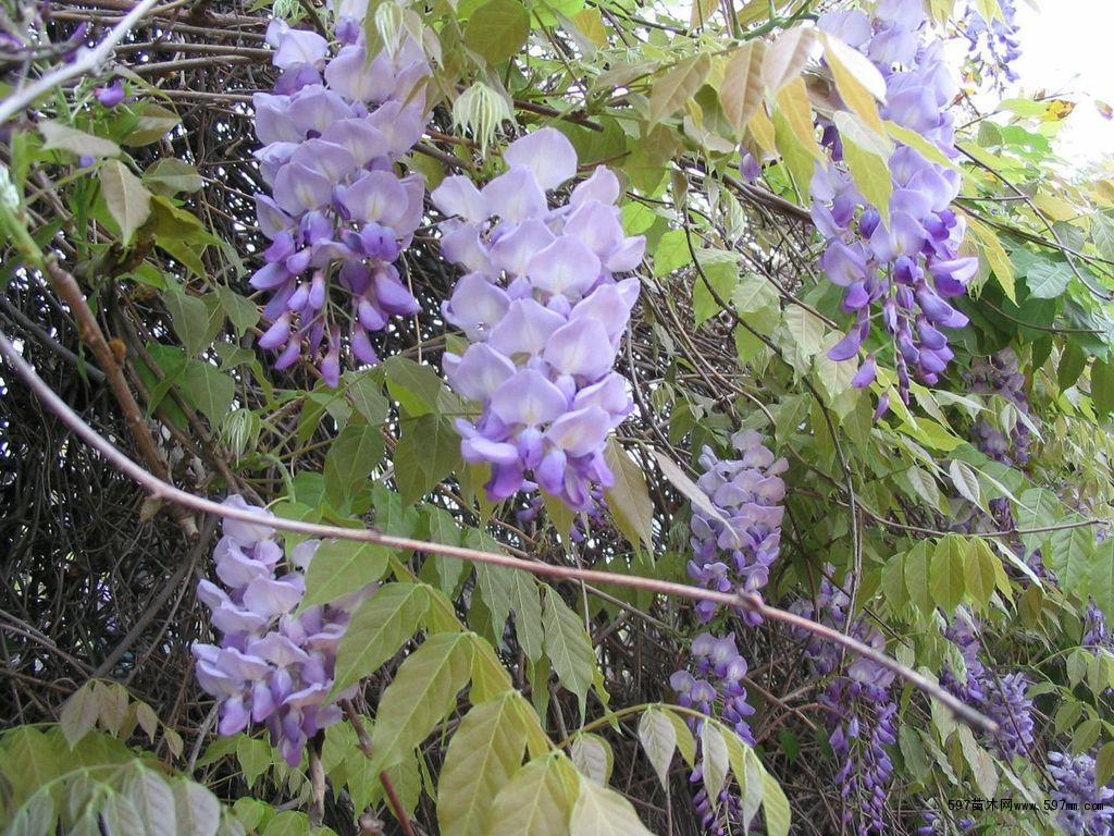 1-20公分紫藤 紫藤最新价格