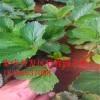 法蘭地草莓苗 法蘭地草莓苗多少錢一棵