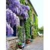 紫藤苗、紫藤树、紫藤种子