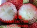 白草莓苗哪里有
