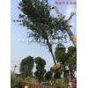 安徽合肥椤木石楠 中华石楠 红叶石楠
