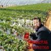 章姬草莓苗批发 山东章姬草莓苗基地