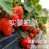 甜查理草莓哪里有 山东甜查理草莓价格  脱毒甜查理草莓