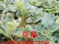 山东草莓苗批发图片