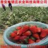 新疆草莓价格 新疆大棚草莓苗多少钱一棵 保湿邮寄新疆草莓苗