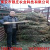 陕西花椒苗价格 苗圃基地直销优质大红袍花椒苗价格