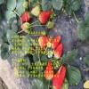 红颜草莓苗优质