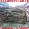1米高大红袍花椒树苗多少钱一棵 供应百万大红袍花椒苗价格
