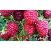 优质紫树莓苗价格是怎样的?