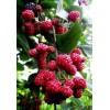 红树莓苗什么品种好?