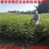 1米花椒苗多少钱一棵 一年苗花椒树苗多少钱一棵