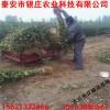 陕西大红袍花椒树苗价格 陕西1米花椒苗多少钱一棵