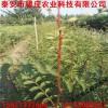基地直销甘肃花椒苗价格 花椒树苗一亩地栽多少栽