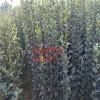 供应西府海棠苗|0.8公分1公分1.5公分2公分西府海棠价格