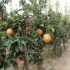 哪里有卖爱宕梨树苗 爱宕梨树苗价格