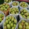 美人酥梨树苗 早红考密斯梨树苗
