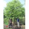 香樟树价格_香樟图片_香樟产地_香樟绿化苗木