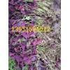 哪里有紫叶红花醡浆草红叶红花炸酱草种球绿叶红花醡浆草多少钱