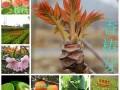 培育香椿树苗