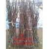 玉露香梨树苗哪里有卖的 玉露香梨苗新品种