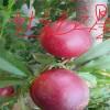 优质桃树苗品种 未来一号油桃苗价格