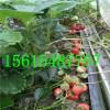 大棚草莓苗好管理吗 大棚草莓苗多少钱一株