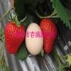 法兰地草莓苗图集