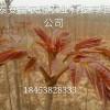 天津附近9公分香椿树苗什么时间移栽最好