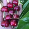 3公分樱桃苗基地 4公分樱桃苗成熟时间