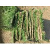 馬尼拉草坪,馬尼拉草皮苗木